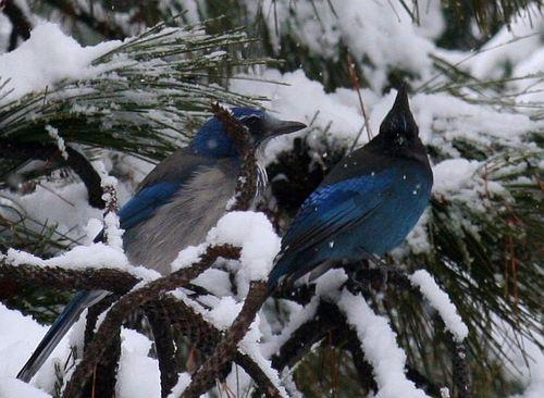 Blue jays in winter